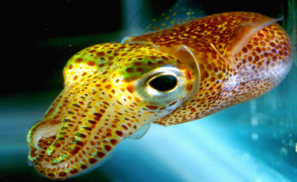 Hawiian Bobtail Squid