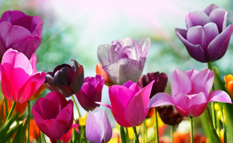 colorful_tulips.jpg