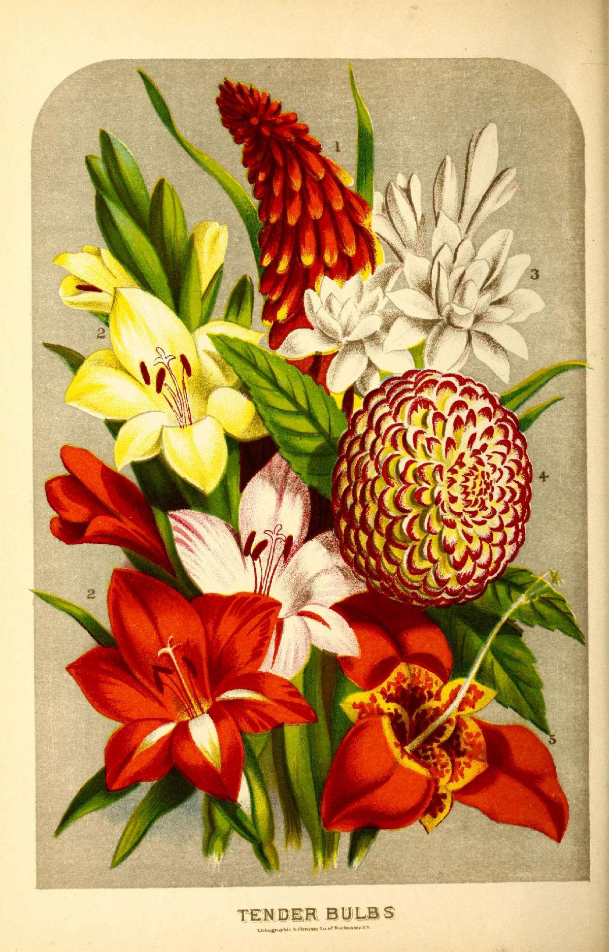Flowers including Tender Bulbs: Tritoma uvaria, Gladioli, Tuberose, Dahlia, and Tigridia.