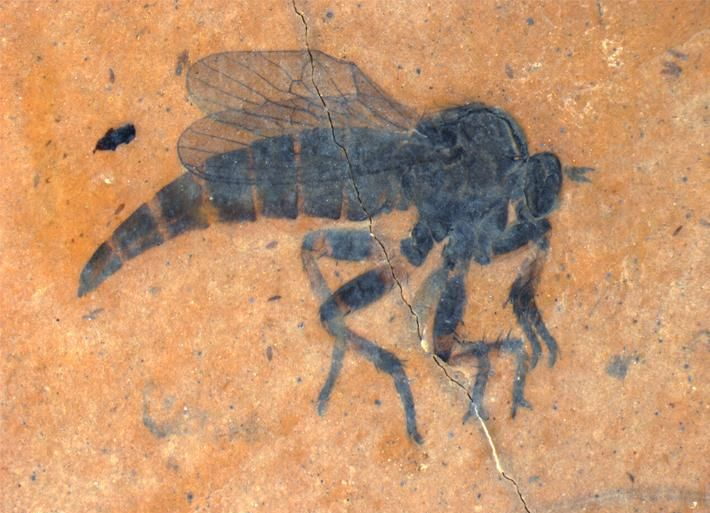 Kishenehnoasilus bhl — a new species of fossil robber fly named after the Biodiversity Heritage Library.