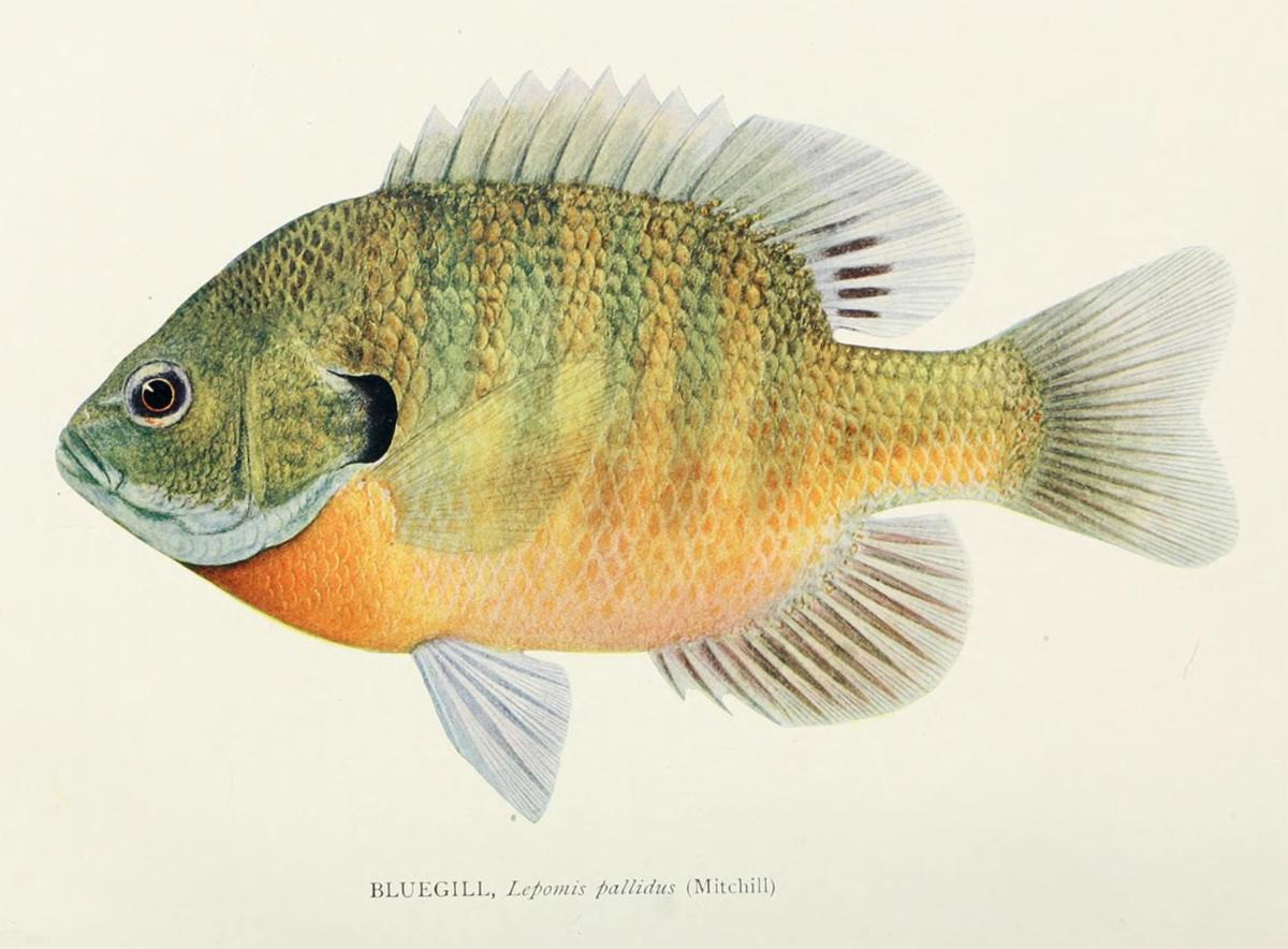 Illustration of a fish by Lydia Moore (Hart) Green