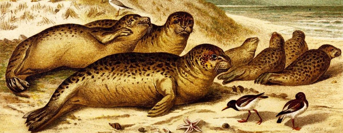 Illustration of sea lions from Brehms Tierleben