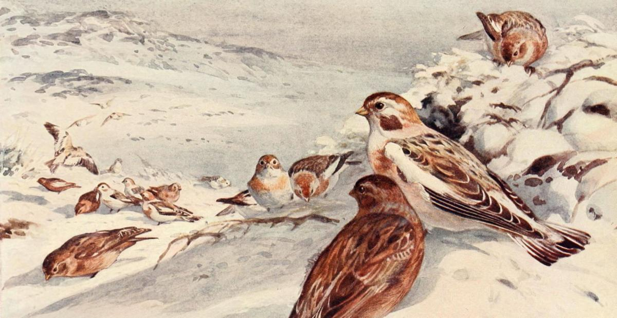 """Snow buntings (Plectrophenax nivalis) by Winifred Austen, """"Birds Through the Year"""" (1922)."""