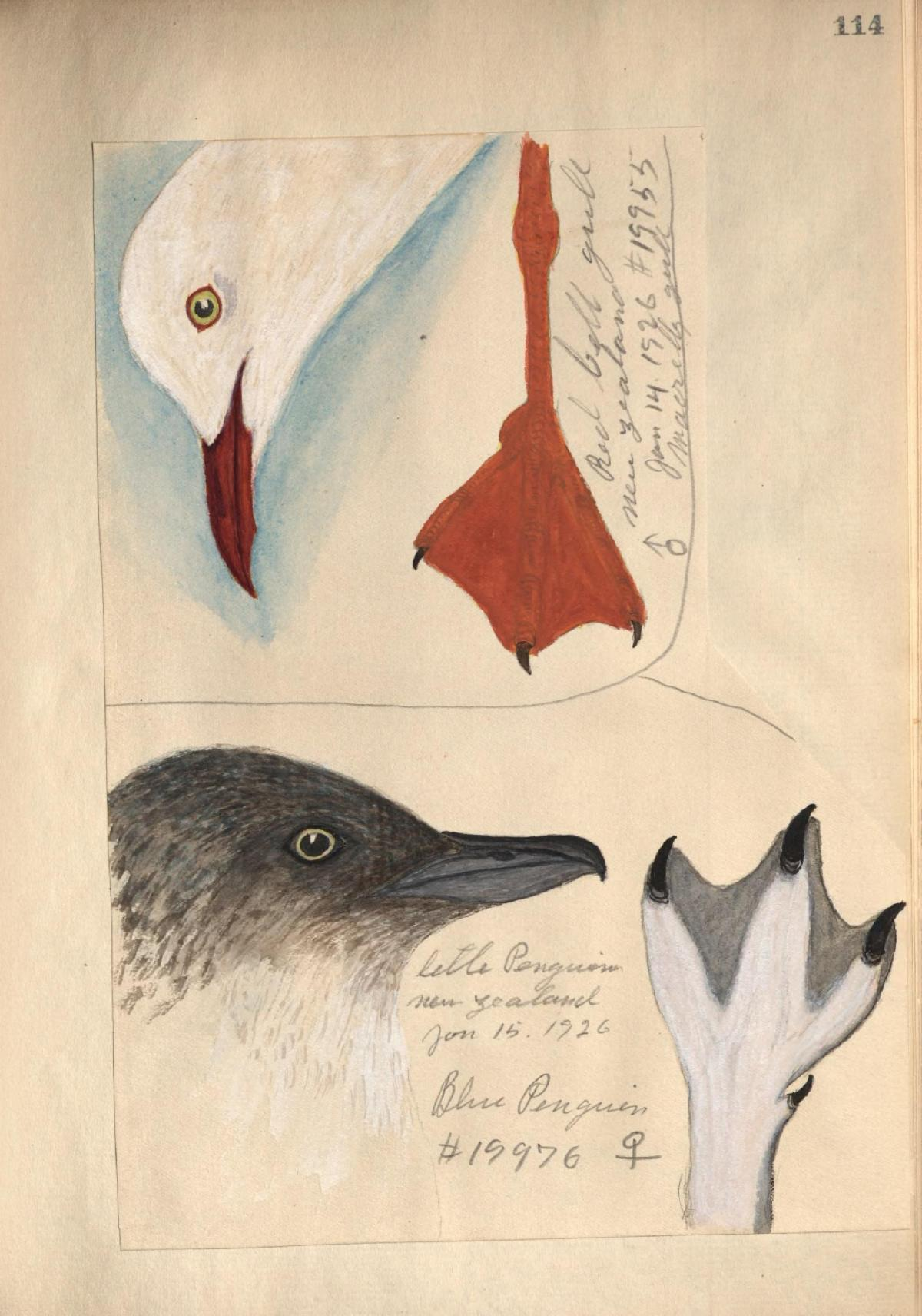 Illustration of bird heads and feet from José Correia's field book.