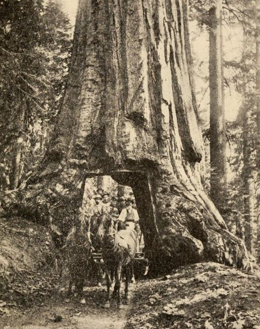 Photo of a horse carriage going through a tunnel in a sequoia tree.