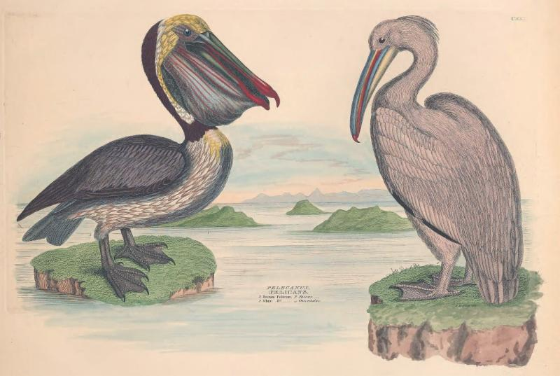 Illustration featured in EOL lesson plan. Illustrations of the American ornithology of Alexander Wilson and Charles Lucian Bonaparte. 1835.