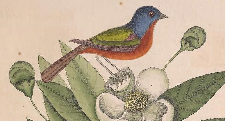 Illustration of the painted bunting from Cateby's Natural History
