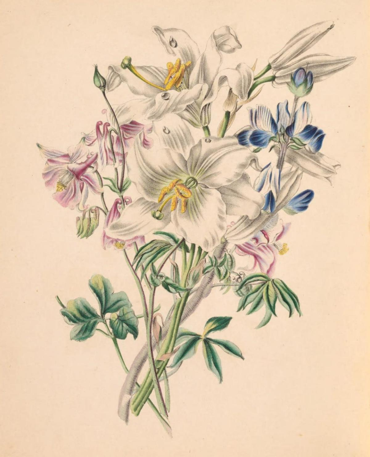 Illustration of Columbine, White Lily and Lupine.