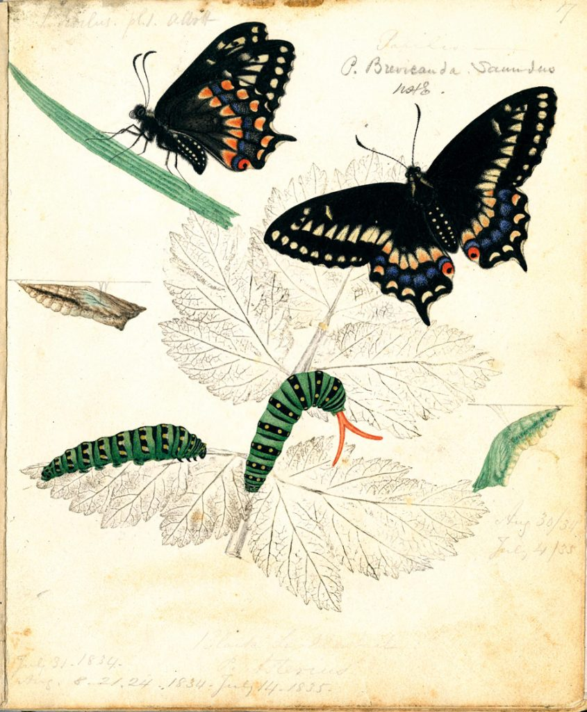 Butterflies and caterpillars from Entomologia terrae novae.