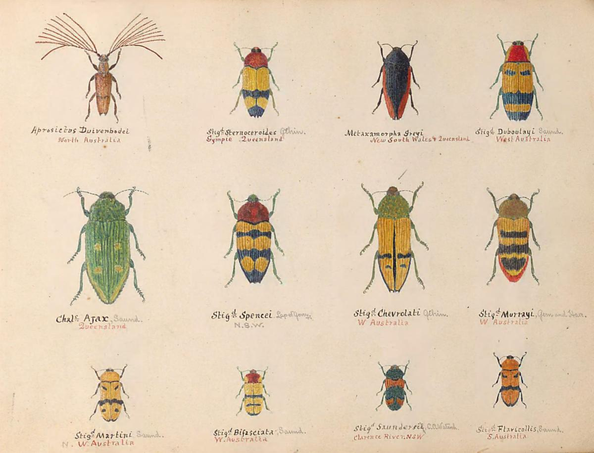 Hand-painted beetles from Boulay's Coleoptera volumes.